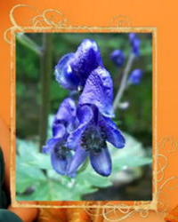 Aconitum napellus_homeopatika
