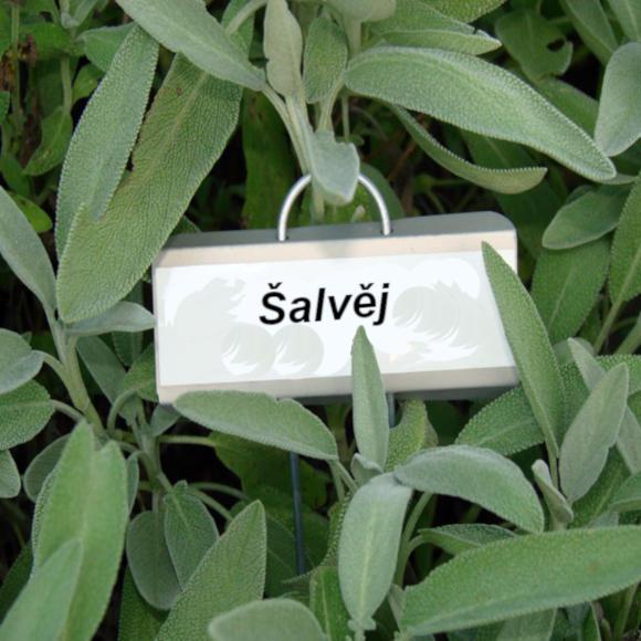 cedulka s nápisem šalvěj visí na rostlince šalvěje