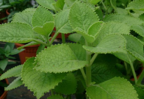 rostlinky rýmovníku zasazené v květináči