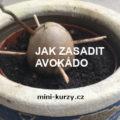 vyklíčená avokádová pecka zasazená do hlíny - úvodní obrázek článku Jak zasadit avokádo do hlíny – naše zkušenosti a rady