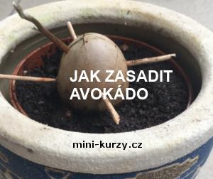 Jak zasadit avokádo do hlíny – naše zkušenosti a rady