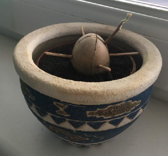 Avokádo zasazené v květináči s hlínou