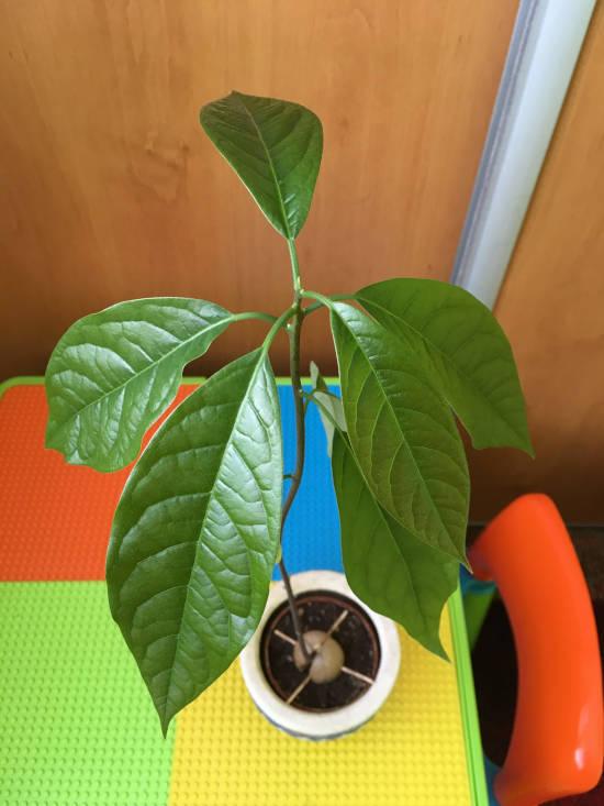 listy zasazeného avokáda v květináči, který stojí na barevném dětském stolíku