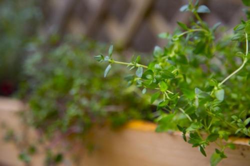 rostlinka tymián pro výrobu zimního čaje