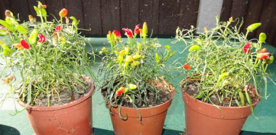 tři květináče a v nich jsou zasazené červené a zelené chilli papričky